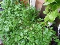 Water_cress_in_flooded_grave_filled_mortar_tub_medium_